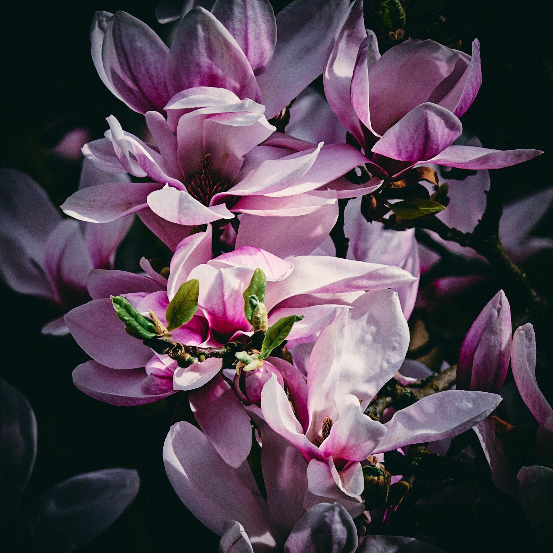 magnolias vanderbroms