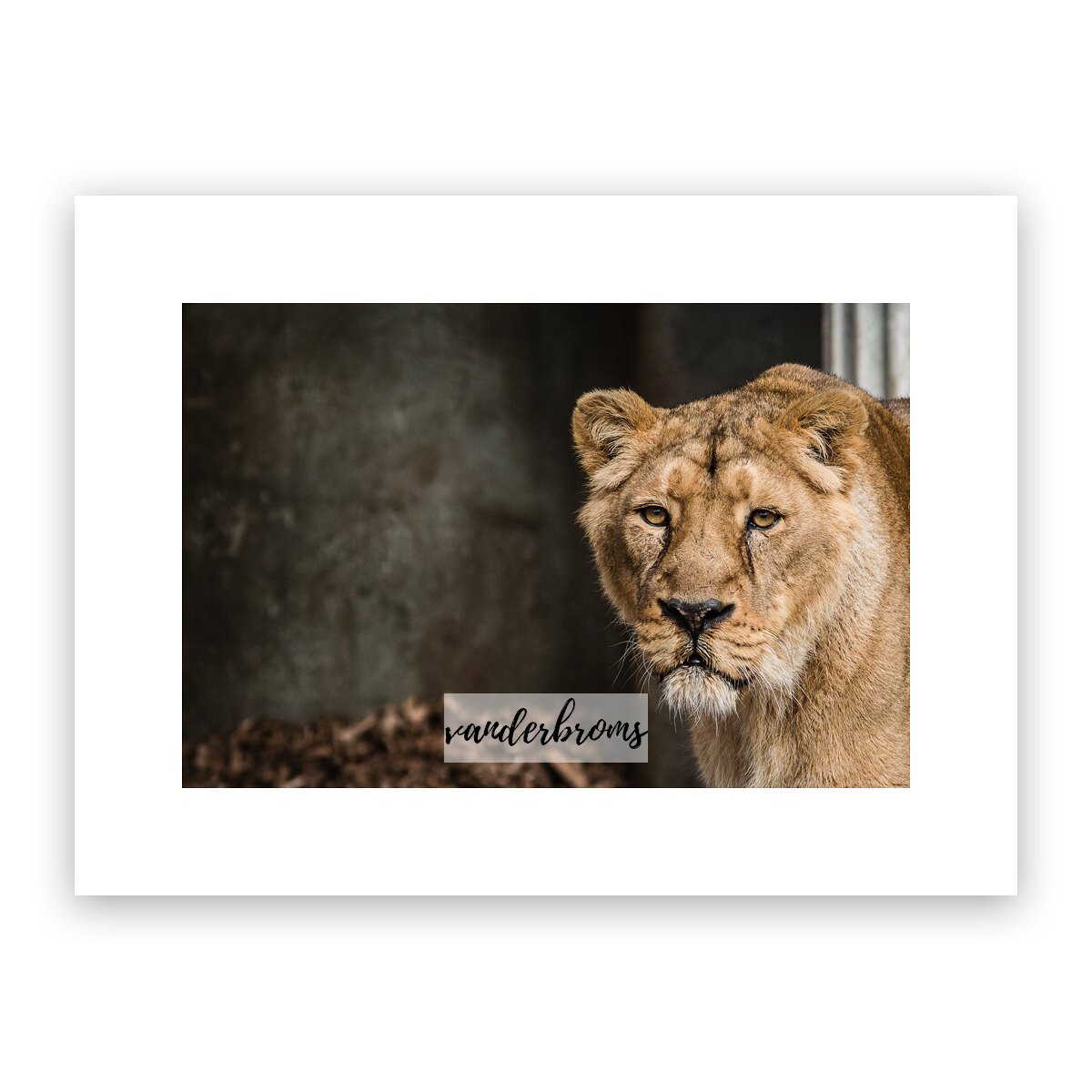 The Lioness Fine Art Photography by Vanderbroms Photography